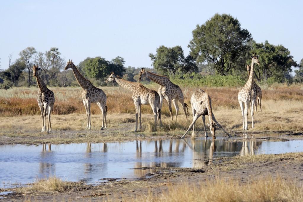 19 iStock 000003749111Medium 2 1024x682 - KENIA: Wielka migracja zwierząt przez rzekę Mara - wyprawa