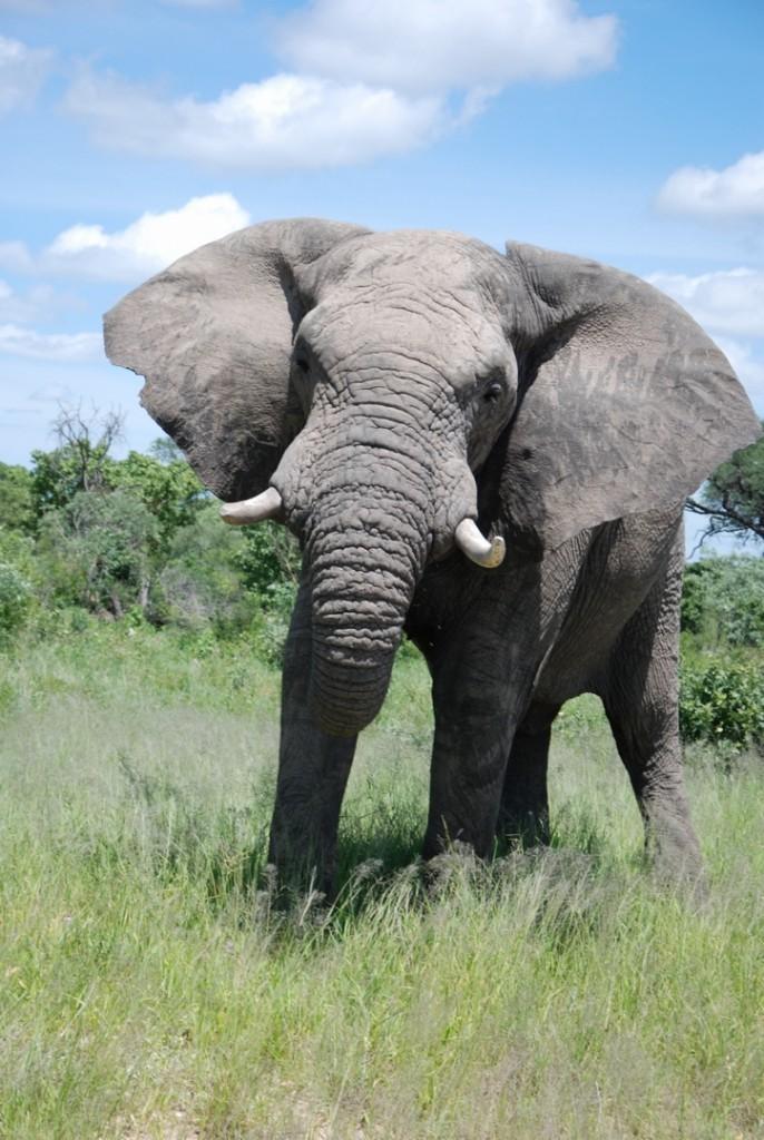 DSC 0582 Elephant 686x1024 - NAMIBIA – BOTSWANA – ZIMBABWE – wyprawa do wodospadów Wiktorii