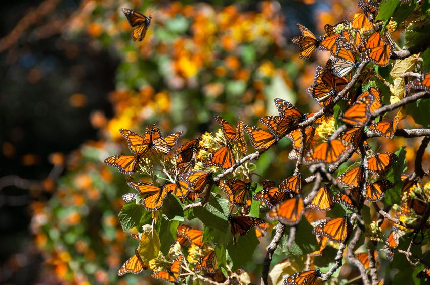 Fotolia 111664605 S - MEKSYK PÓŁNOCNY: Miedziany Kanion i motyle Monarcha - wyprawa na Festiwal Dia de los Muertos