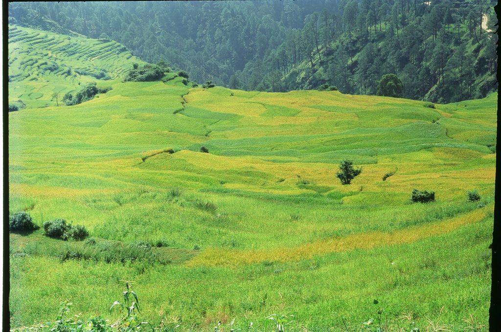 Paddy Fields in Sikkim 1024x679 - INDIE: Sikkim i Bengal Zachodni - wyprawa