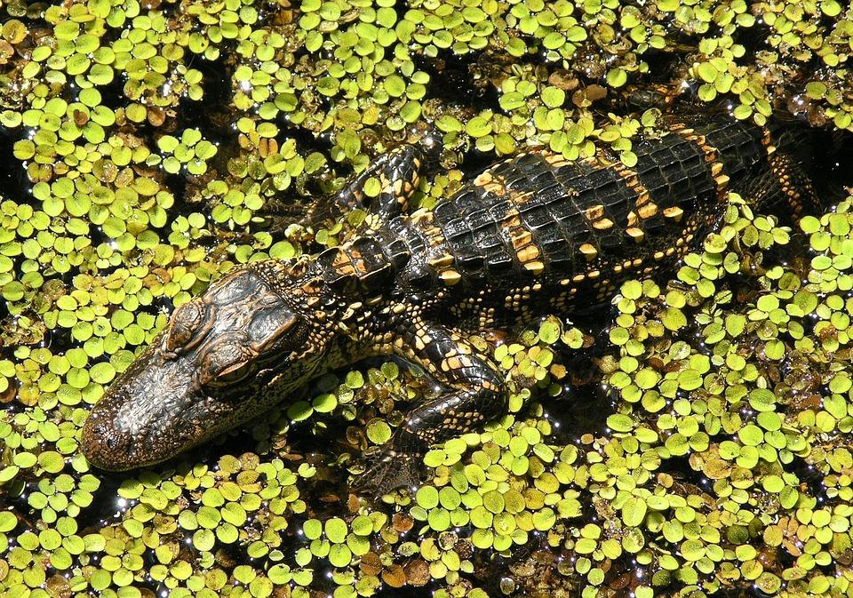 alligator 1068416 960 720 - USA: Wschodnie Wybrzeże z Nowym Orleanem i Florydą