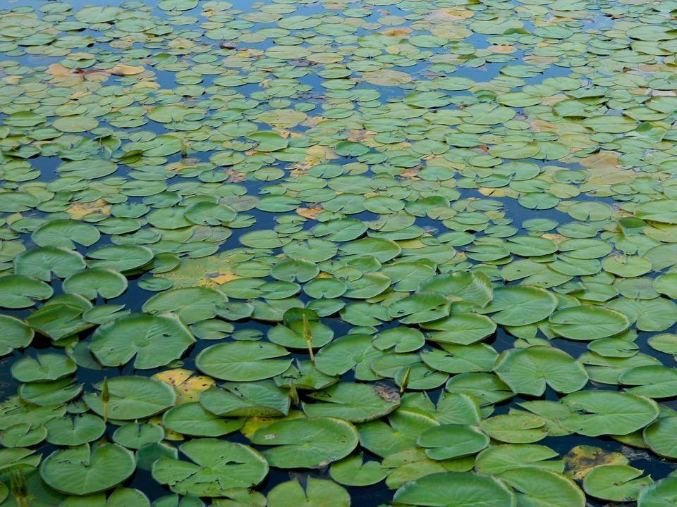 aquatica plant 101626 960 720 - BRAZYLIA z Amazonią, Foz do Iguazu i Pantanalem - wycieczka