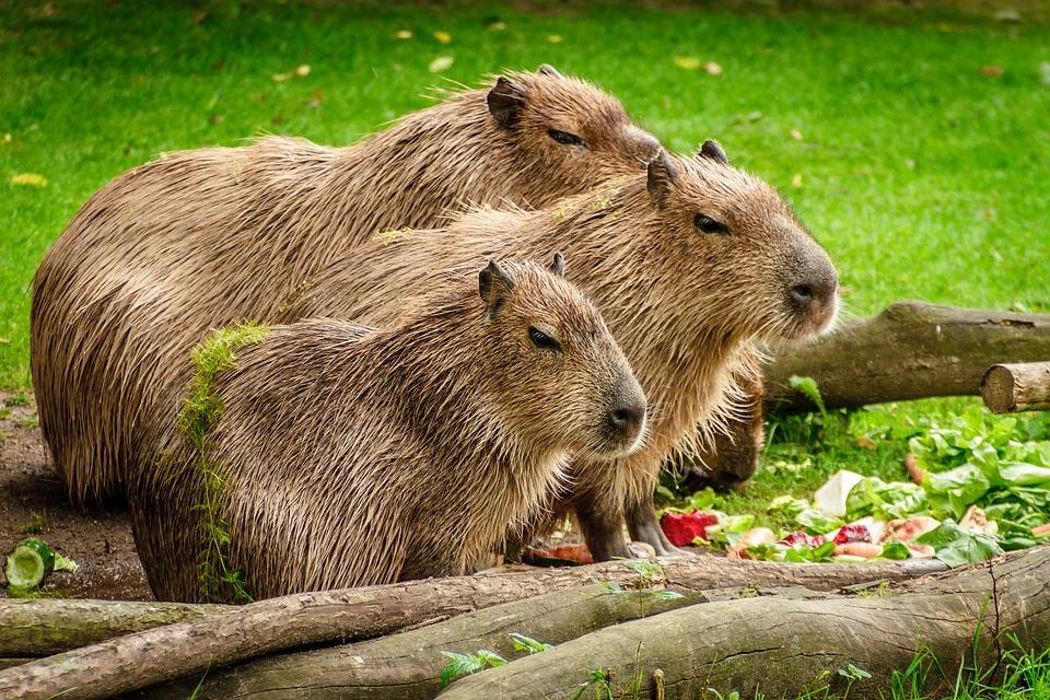 capybara 1599766 960 720 - BRAZYLIA z Amazonią, Foz do Iguazu i Pantanalem - wycieczka