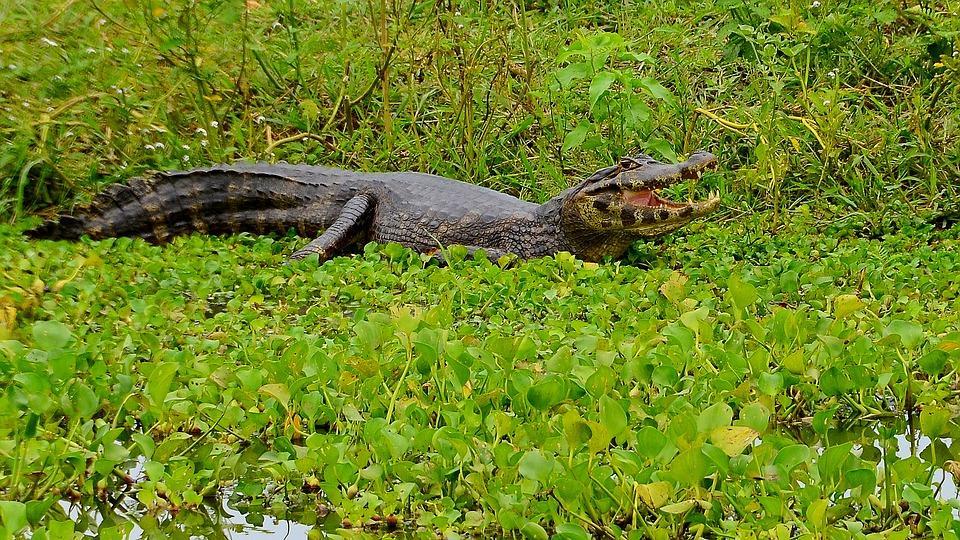 cayman 2164810 960 720 - BRAZYLIA z Amazonią, Foz do Iguazu i Pantanalem - wycieczka