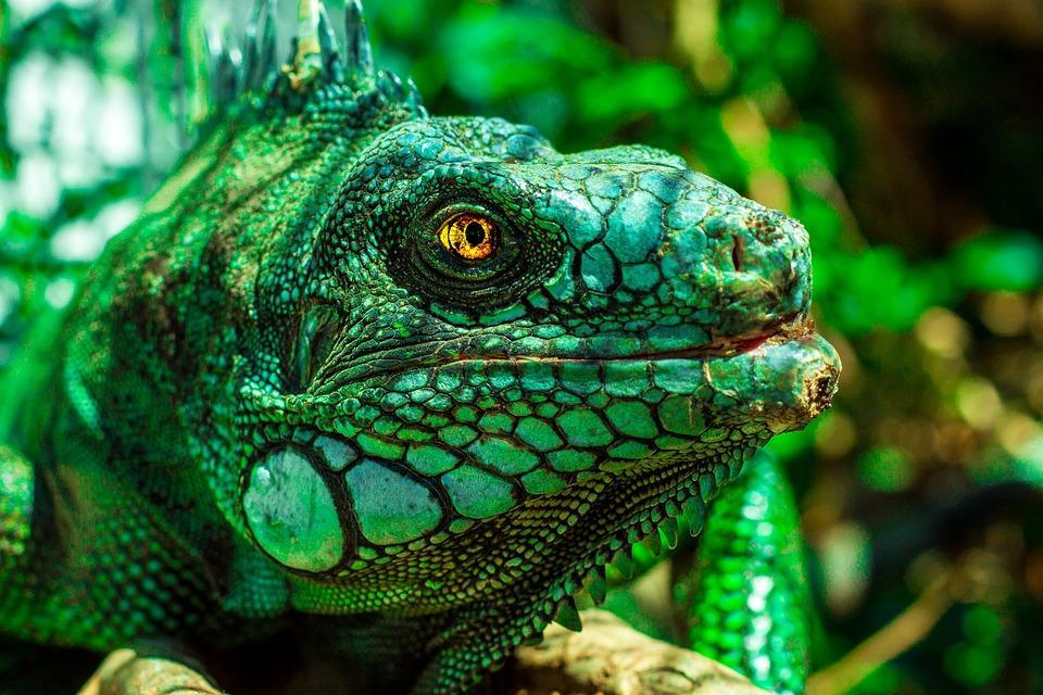 iguana 1902814 960 720 - BRAZYLIA z Amazonią, Foz do Iguazu i Pantanalem - wycieczka