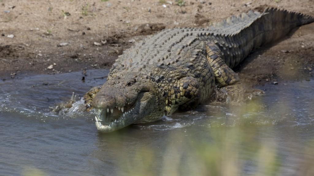 stock photo 30013994 nilkrokodil crocodile 1024x576 - KENIA: wyprawa nad Jezioro Turkana: Nefrytowe Morze Afryki