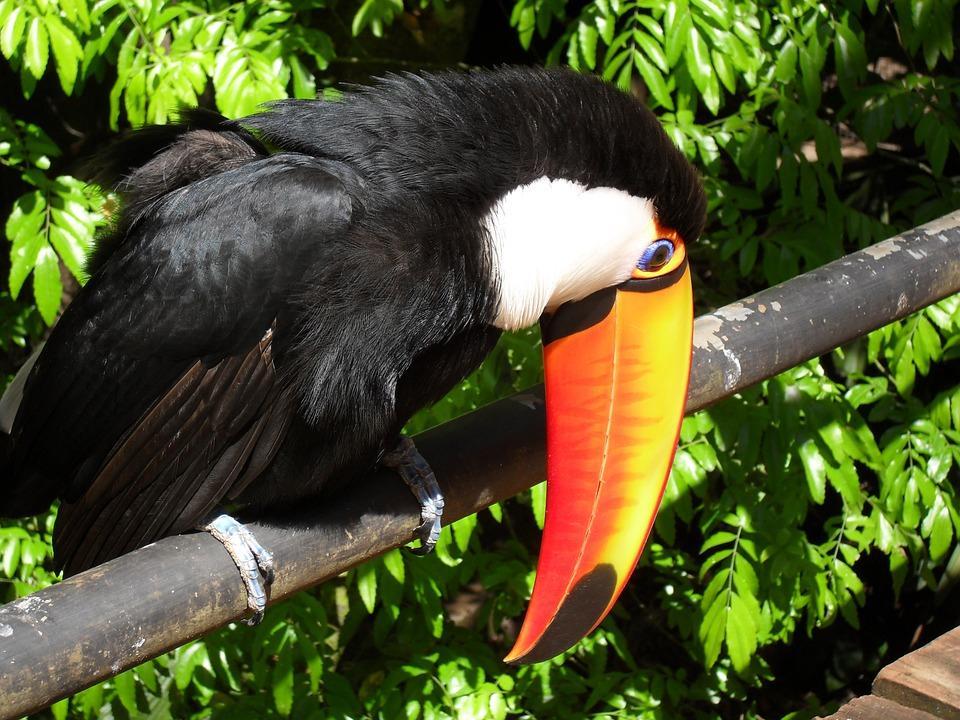 tucano 521493 960 720 - BRAZYLIA z Amazonią, Foz do Iguazu i Pantanalem - wycieczka
