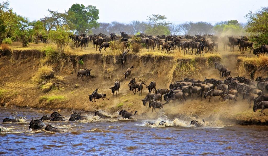 wildebeest migration 2 1 1024x597 - KENIA: Wielka migracja zwierząt przez rzekę Mara - wyprawa