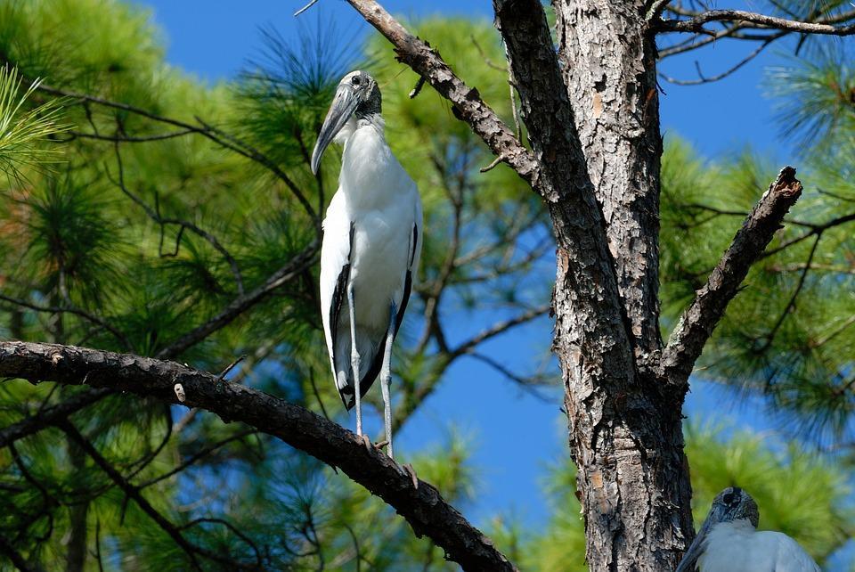 wood stork 1620272 960 720 - USA: Wschodnie Wybrzeże z Nowym Orleanem i Florydą