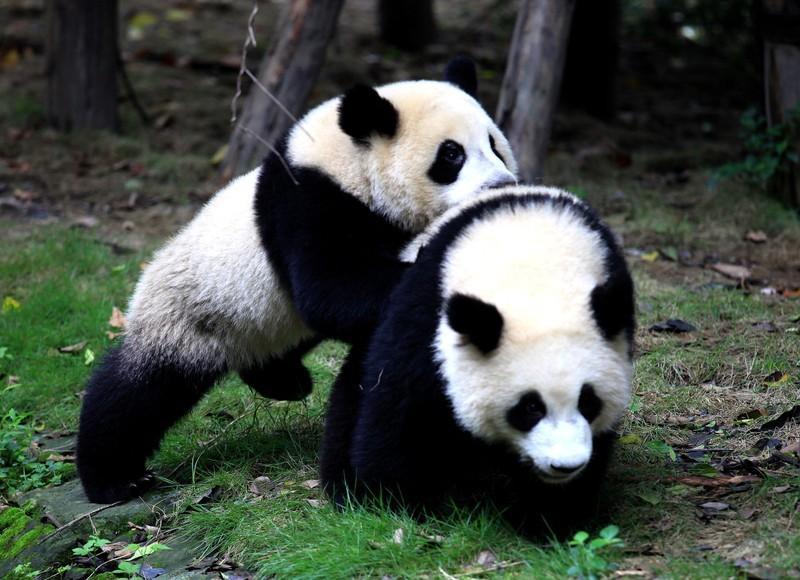 Chengdu Panda2 1 - CHINY POŁUDNIOWE: Syczuan – Yunnan: wyprawa na Festiwal Pochodni