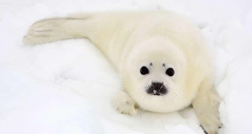 STANY ZJEDNOCZONE – KANADA: Foki grenlandzkie na Wyspach Magdaleny w Zatoce Św. Wawrzyńca - wyprawa