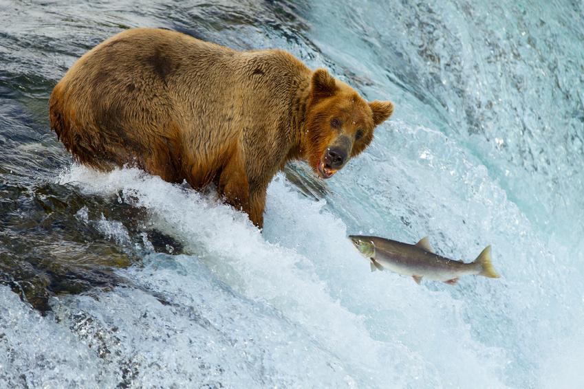Niedźwiedzie Grizzly - ALASKA - KANADA ZACHODNIA:  Niedźwiedzie Grizzly, łosie i łososie