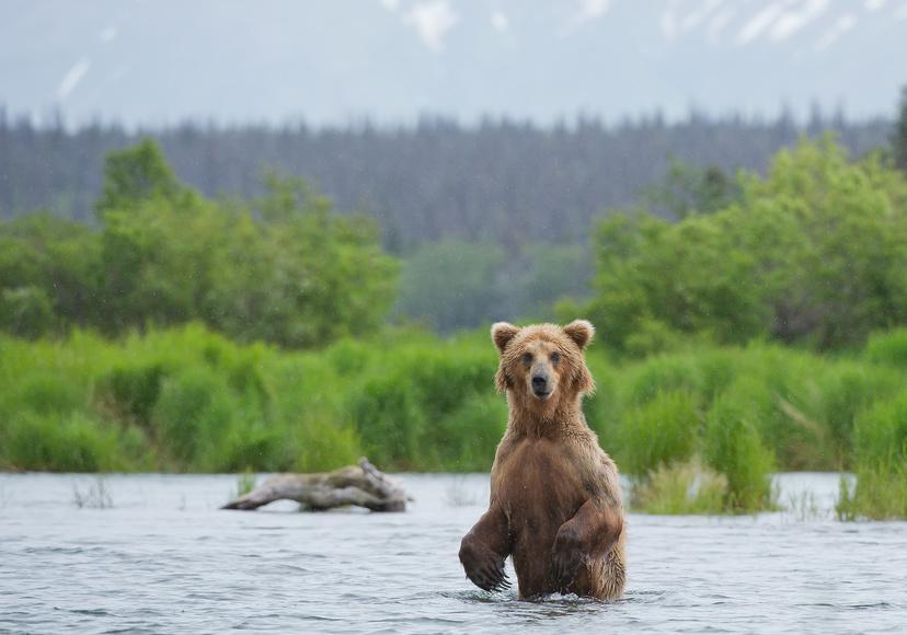 Niedźwiedzie Grizzly2 - ALASKA - KANADA ZACHODNIA:  Niedźwiedzie Grizzly, łosie i łososie