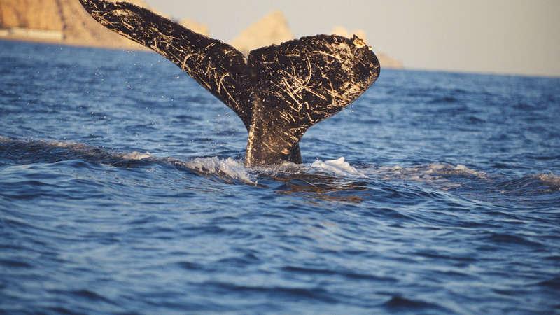 MEKSYK POŁUDNIOWY: Rekiny wielorybie na Półwyspie Jukatan - wyprawa