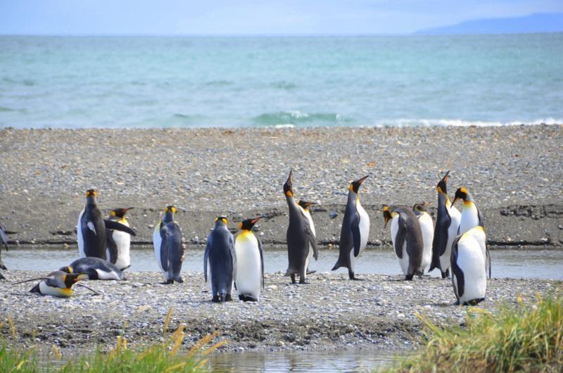 5.Kolonia pingwinów królewskich - CHILE – Północ i Południe – wyprawa na Uyuni