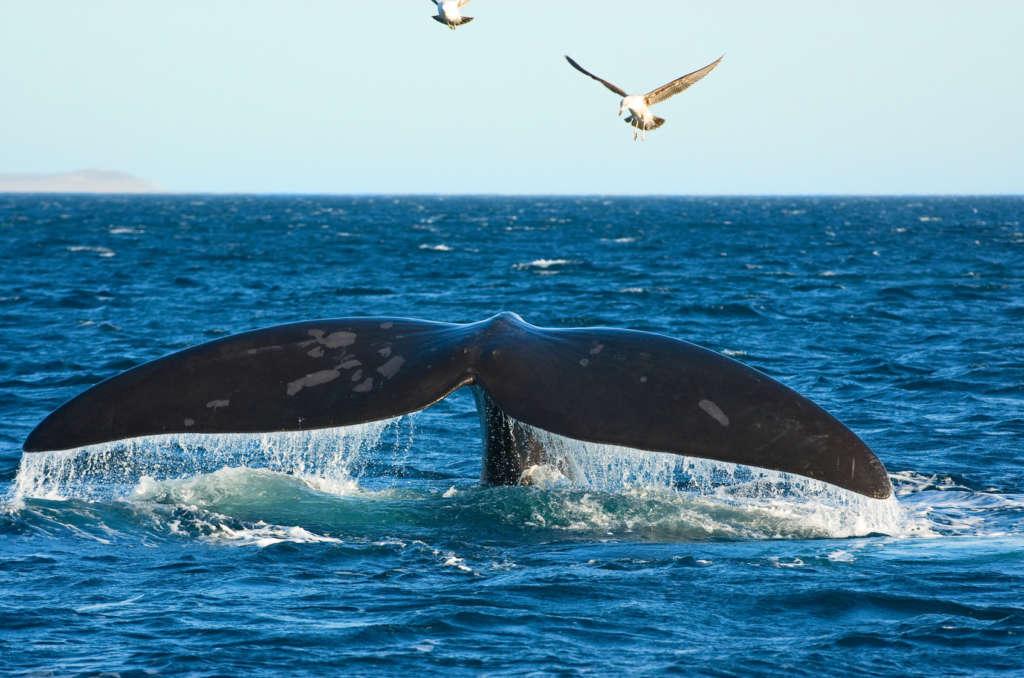 Fotolia 11121728 Subscription Monthly M 1024x678 - ARGENTYNA: obserwacja wielorybów na Półwyspie Valdes
