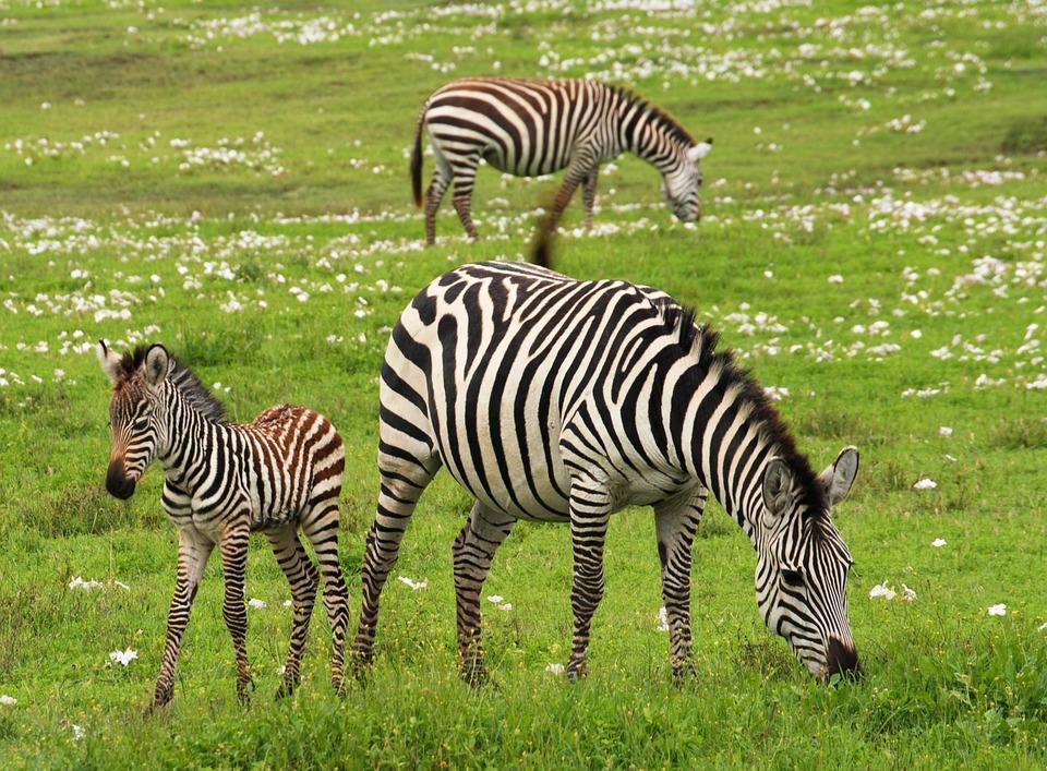 baby zebra 75885 960 720 - TANZANIA I ZANZIBAR