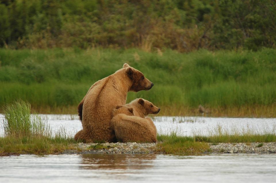 bears 2035489 960 720 - ALASKA - KANADA ZACHODNIA:  Niedźwiedzie Grizzly, łosie i łososie