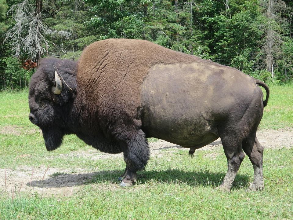 bison 2172392 960 720 - KANADA: od Toronto po Vancouver