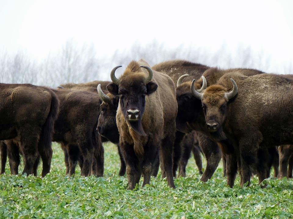 bison 4863023 960 720 - KANADA: od Toronto po Vancouver
