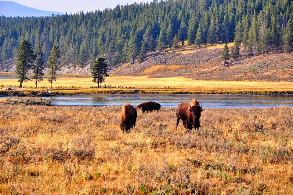 bison 5066629 960 720 - KANADA: od Toronto po Vancouver