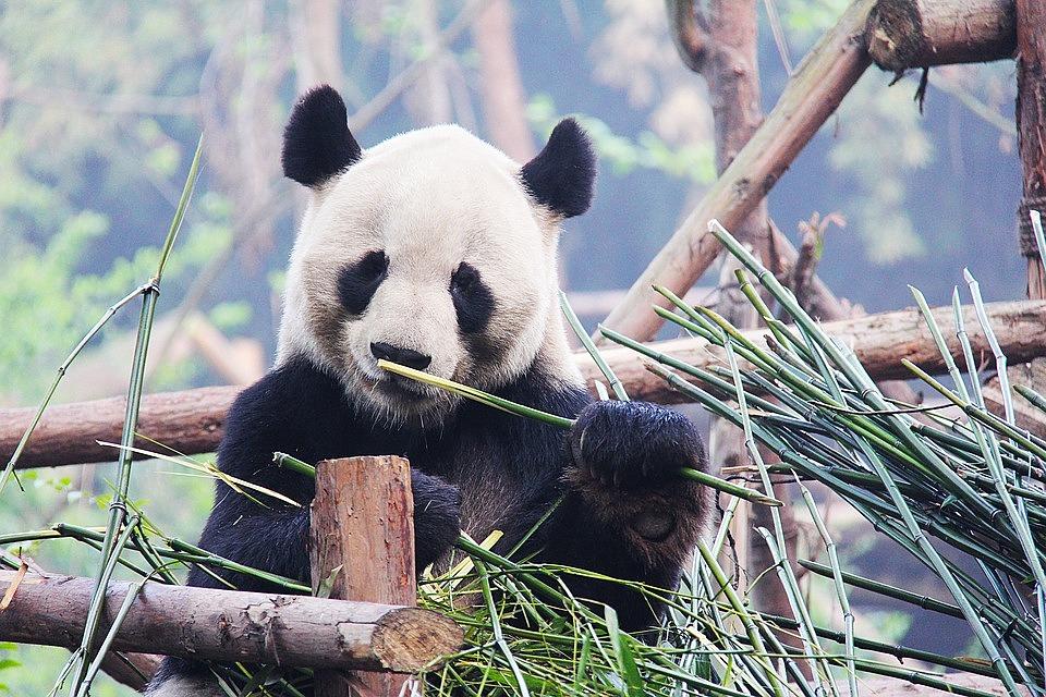 black and white 1711001 960 720 - CHINY POŁUDNIOWE: Syczuan – Yunnan: wyprawa na Festiwal Pochodni