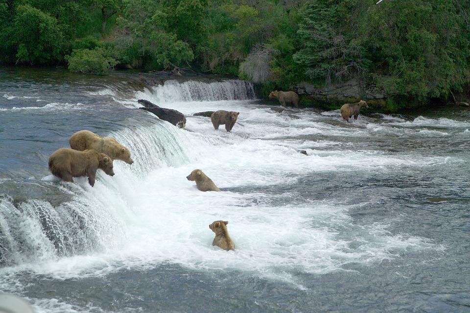 brown bears 2119560 960 720 - ALASKA - KANADA ZACHODNIA:  Niedźwiedzie Grizzly, łosie i łososie