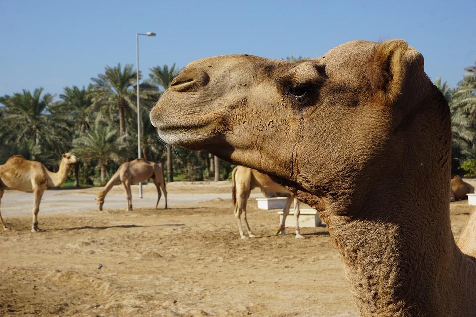 camel 1978995 960 720 - PÓŁWYSEP ARABSKI: Emiraty Arabskie – Oman – Kuwejt – Bahrajn – Katar – niezwykła wyprawa