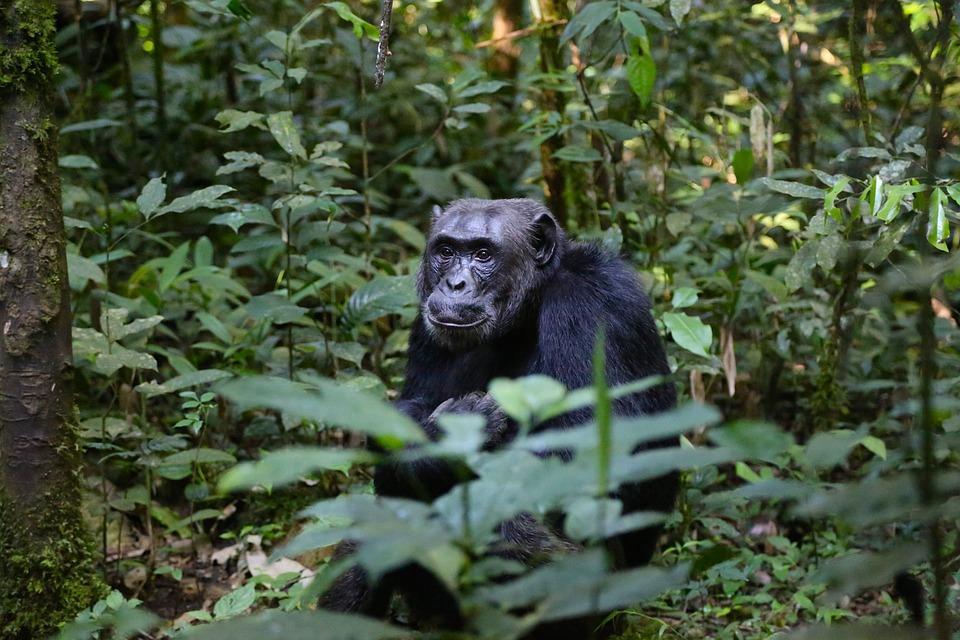 chimpanzee 898756 960 720 - UGANDA – Perła Afryki