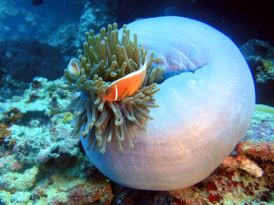 clown fish 322419 960 720 - FILIPINY: Bohol, Cebu, El Nido, Palawan, Manila i tarasy ryżowe Bangaan - wycieczka