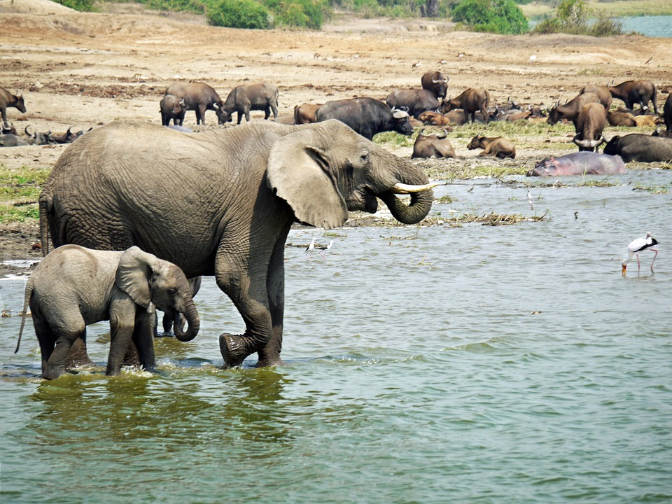 elephant 1535882 960 720 - UGANDA – Perła Afryki