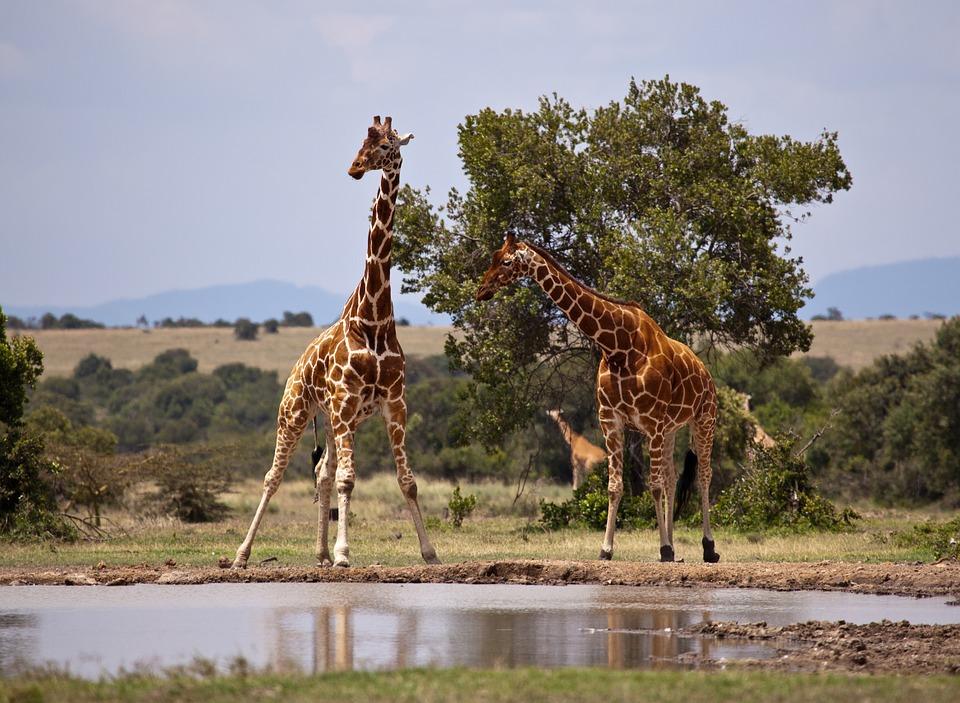 giraffe 163036 960 720 - KENIA: wyprawa nad Jezioro Turkana: Nefrytowe Morze Afryki