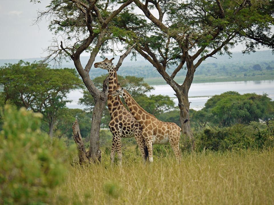 giraffes 1416574 960 720 - UGANDA – Perła Afryki