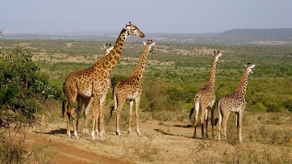 giraffes 2615089 960 720 - KENIA: wyprawa nad Jezioro Turkana: Nefrytowe Morze Afryki