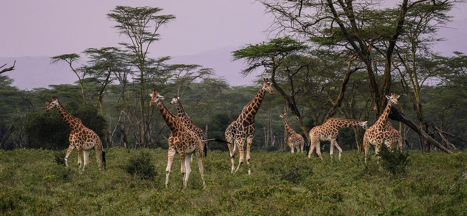 giraffes 2685352 960 720 - KENIA: wyprawa nad Jezioro Turkana: Nefrytowe Morze Afryki