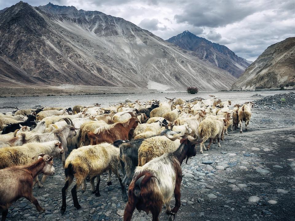 goats 2149677 960 720 - INDIE - Ladakh – Kaszmir: wyprawa na Festiwal Hemis Tsechu