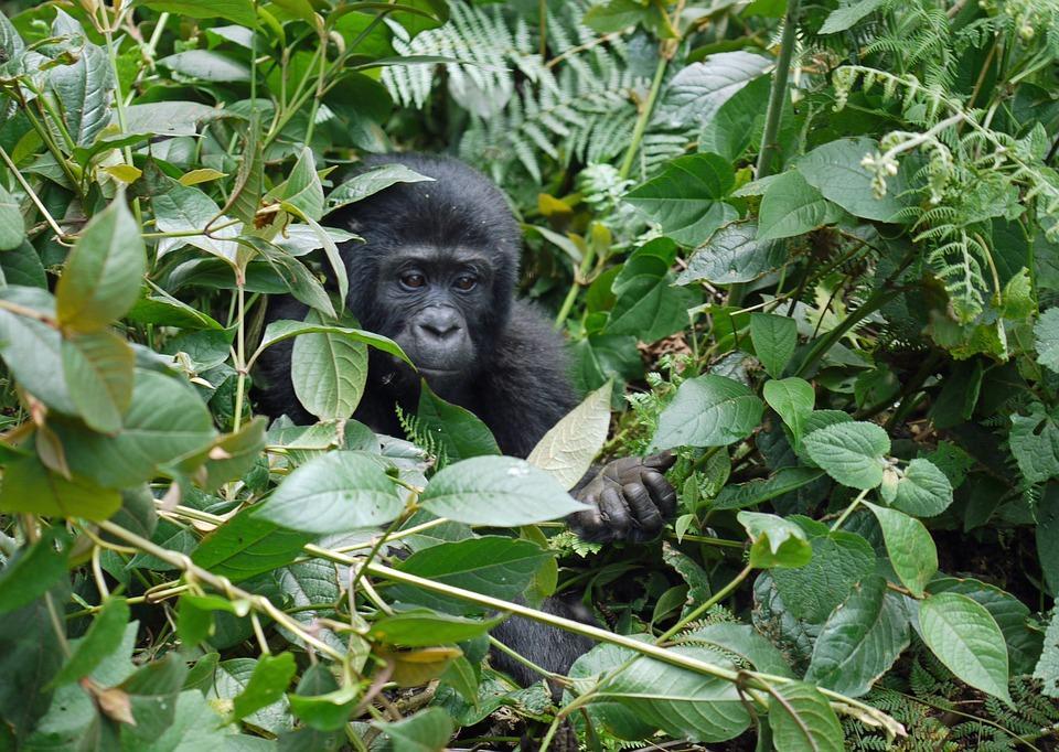 gorilla 1386501 960 720 - UGANDA – Perła Afryki