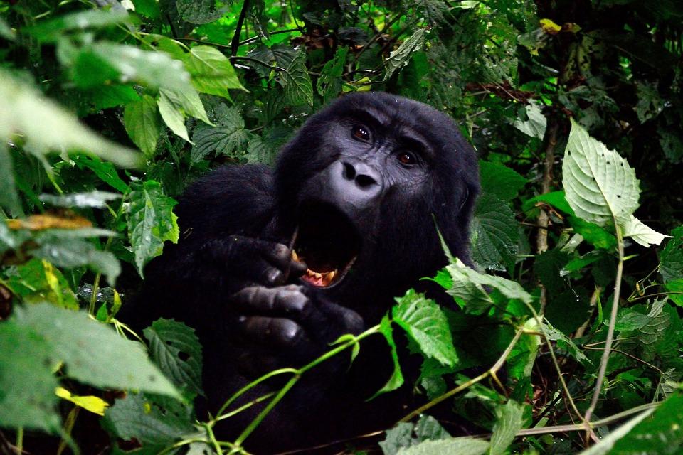 gorilla 355178 960 720 - UGANDA – Perła Afryki