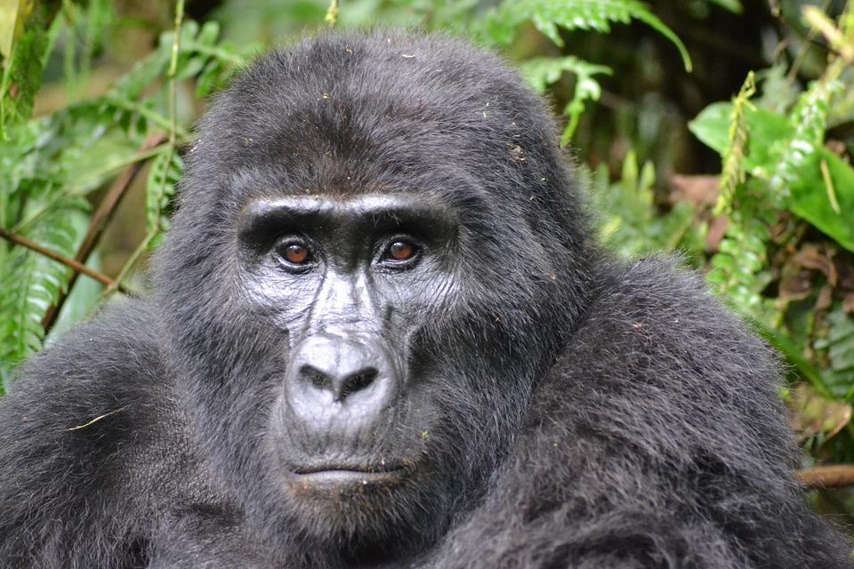 gorilla 3928903 960 720 - UGANDA – Perła Afryki