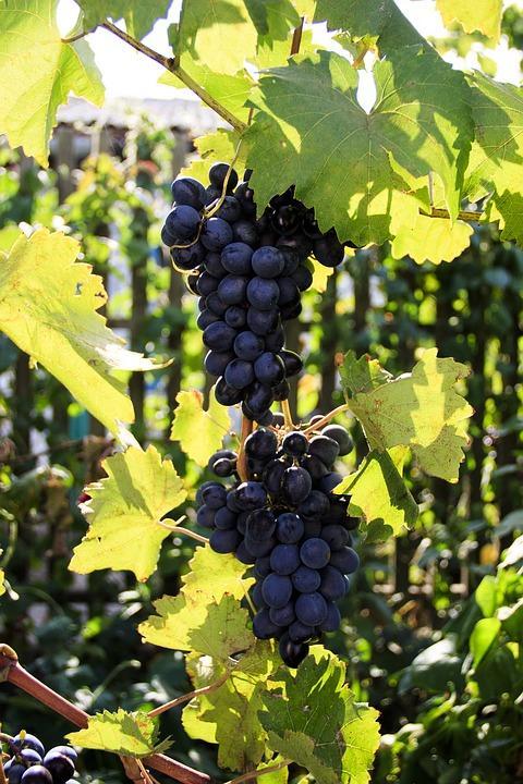 grapes 3611196 960 720 - MOŁDAWIA z Gagauzją i Naddniestrzem