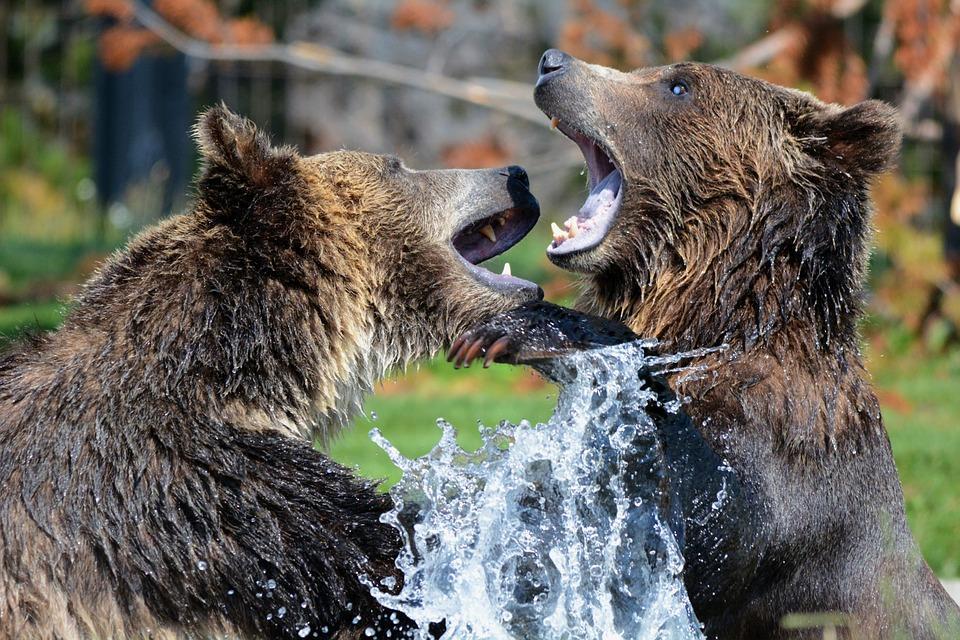 grizzly 210996 960 720 - ALASKA - KANADA ZACHODNIA:  Niedźwiedzie Grizzly, łosie i łososie