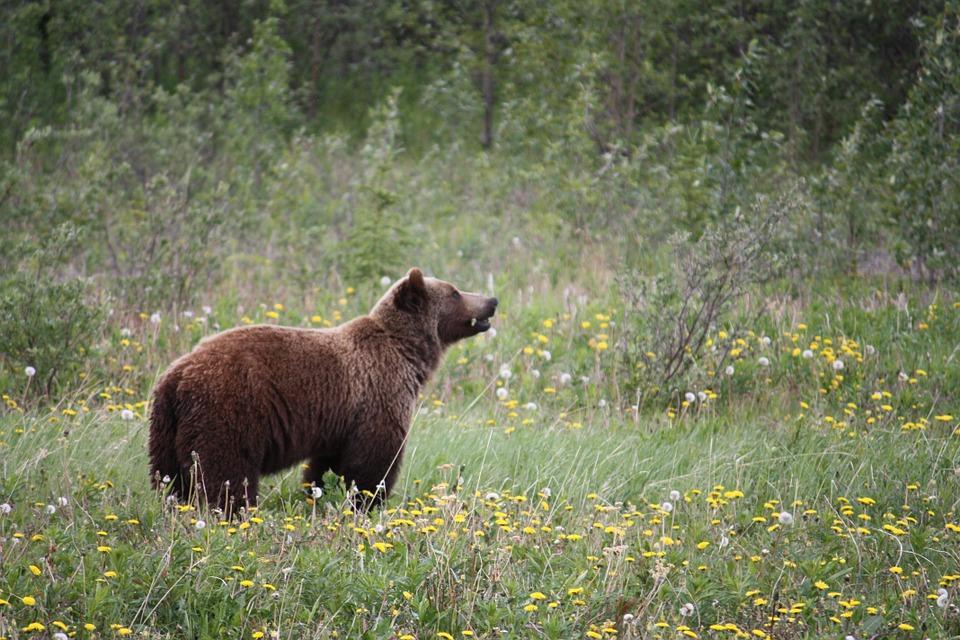 grizzly 73505 960 720 - KANADA: od Toronto po Vancouver