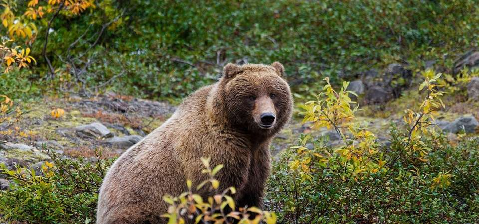 ALASKA - KANADA ZACHODNIA: Niedźwiedzie Grizzly, łosie i łososie