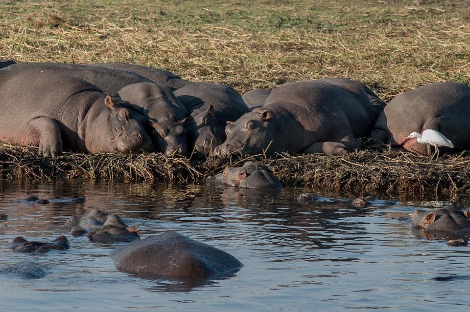 hippopotamus 693450 960 720 - NAMIBIA – BOTSWANA – ZIMBABWE – wyprawa do wodospadów Wiktorii