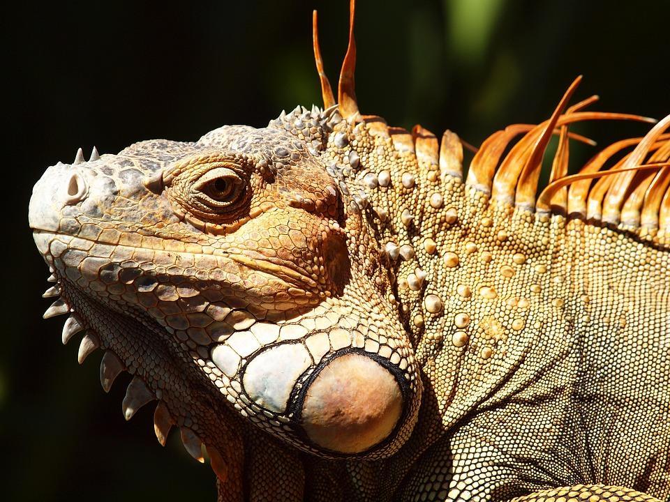 iguana 2259278 960 720 - KOSTARYKA, NIKARAGUA I PANAMA  – SZLAKIEM KOLORÓW NATURY