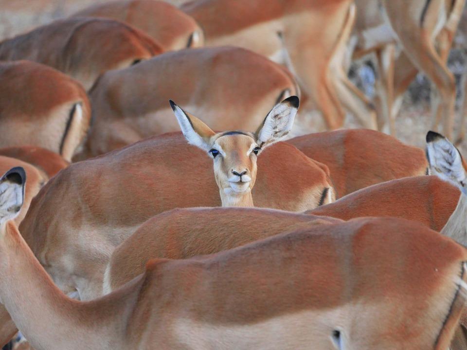 impala 2668617 960 720 - KENIA: wyprawa nad Jezioro Turkana: Nefrytowe Morze Afryki