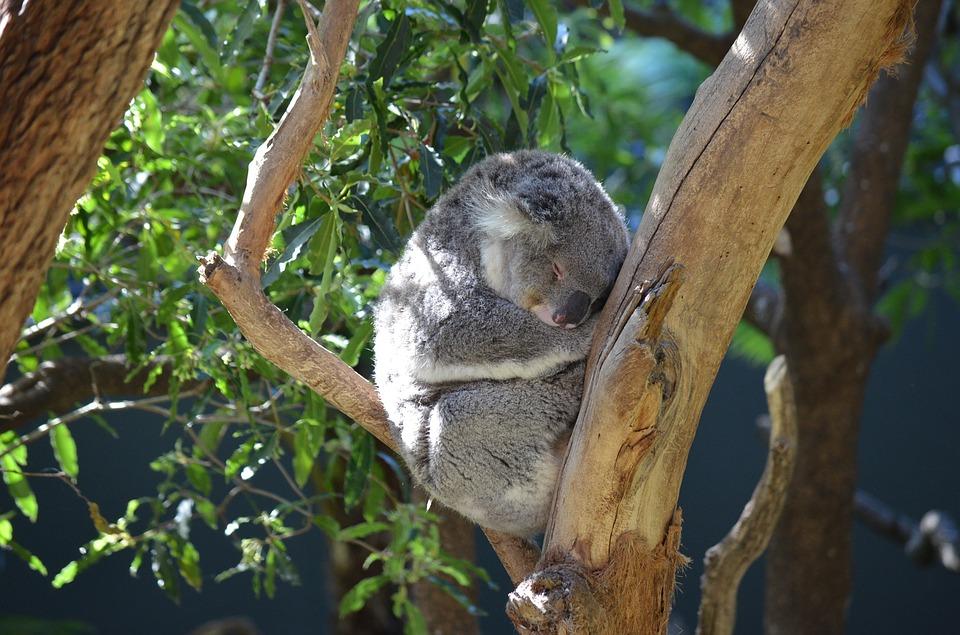 koala 2010177 960 720 - AUSTRALIA z Tasmanią: kangury, psy dingo, diabły tasmańskie i misie koala – wyprawa
