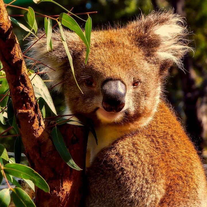 koala 2549484 960 720 - AUSTRALIA, NOWA ZELANDIA, FIDŻI i TONGA - Wielka Wyprawa Marzeń