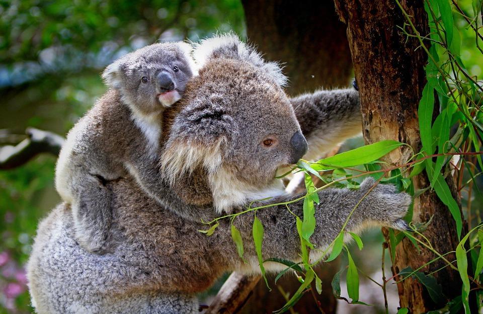 koala 61189 960 720 - AUSTRALIA, NOWA ZELANDIA, FIDŻI i TONGA - Wielka Wyprawa Marzeń