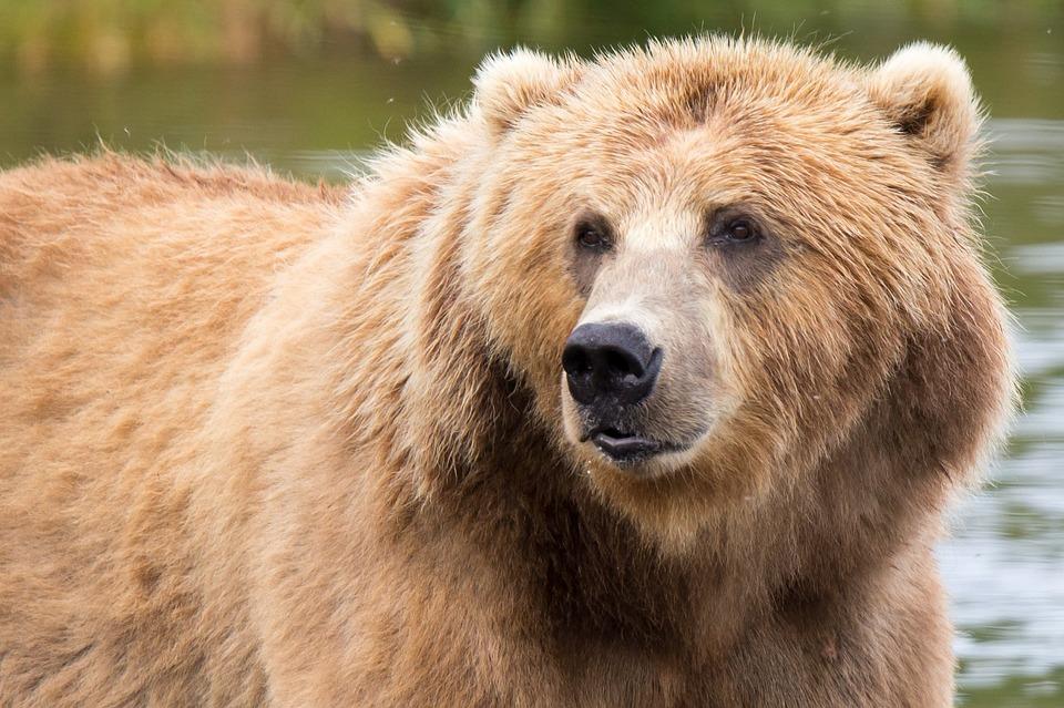 kodiak brown bear 1622667 960 720 - ALASKA - KANADA ZACHODNIA:  Niedźwiedzie Grizzly, łosie i łososie
